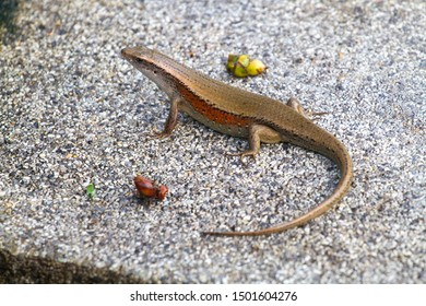 copper skink on a stone