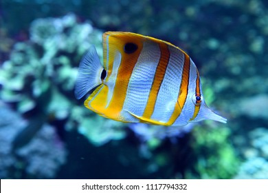 Copperband Butterfly fish swiming among coral
