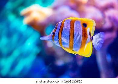 Copperband butterflyfish (Chelmon rostratus), commonly known as beaked coral fish