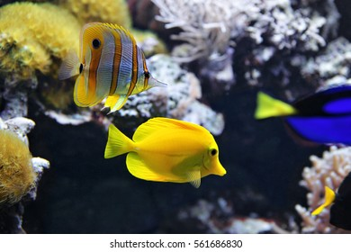Copperband Butterflyfish (Chelmon rostratus) also commonly called the Beak Coralfish, and Yellow tang (Zebrasoma flavescens). These are some of the most popular aquarium fish