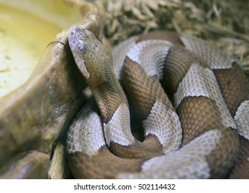 A copperhead snake found in north Texas coiled near a pet feeding dish, outside.
