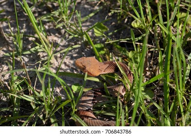 Copperhead Snake in the sunlight and grass at Georgia Veterans State Park