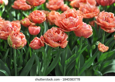 Copper-orange multi-flowered Double Late tulips (Tulipa) Copper Image bloom in a garden in April 2017