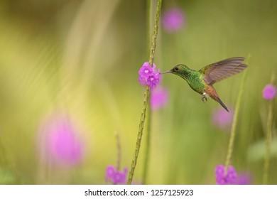 Copper-rumped hummingbird, Amazilia tobaci hovering next to violet flower, bird in flight, caribean Trinidad and Tobago, natural habitat, beautiful hummingbird sucking nectar,colouful clear background