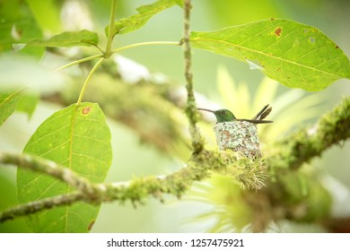Copper-rumped hummingbird (Amazilia tobaci) sitting on nest on branch, caribean tropical forest, Trinidad and Tobago, natural habitat, nesting hummingbird, green leaves in background, cute bird