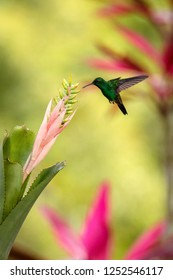 Copper-rumped Hummingbird hovering next to pink and yellow flower, bird in flight, caribean tropical forest, Trinidad and Tobago, natural habitat, hummingbird sucking nectar, colouful background
