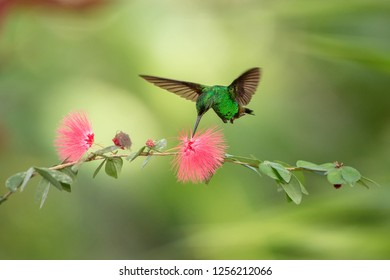 Copper-rumped Hummingbird hovering next to pink flower, bird in flight, caribean tropical forest, Trinidad and Tobago, natural habitat, hummingbird sucking nectar, colouful background