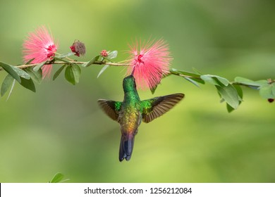 Copper-rumped Hummingbird hovering next to pink mimosa flower, bird in flight, caribean tropical forest, Trinidad and Tobago, natural habitat, hummingbird sucking nectar, colouful background