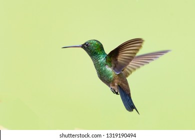 Copper-rumped hummingbird hovers in the air.