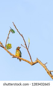 Coppersmith Barbet perching on Bo tree perch isolated on pale blue sky