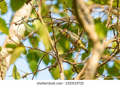 Coppersmith Barbet perching on Bo tree with mouthful of food