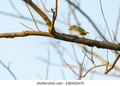 Coppersmith Barbet perching on dry perch