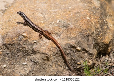 Copper-tailed skink in Blue Mountain in Australia.