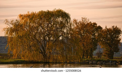 Copper-tinted pond-side willow tree in the evening in autumn (fall)