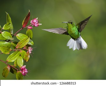 Coppery-headed Emerald hummingbird preparing to feed  in costa Rica