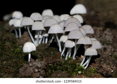 Coprinellus disseminatus or Coprinus disseminatus; commonly known as fairy inkcap or trooping crumble cap. Delicate edible mushroom found in Kerala