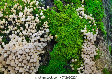A lot of Coprinellus disseminatus on an old stump, covered with juicy green moss with a colorful sprouts. Close-up macro shot. Some blurred stump bark at right.