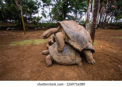 Copulating pair of giant turtles in La Vanille natural park, Mauritius.