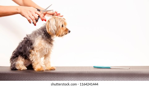 Copy space adorable Yorkshire terrier being groomed, scissors over her head