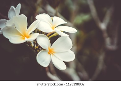 Copy space of Plumeria (Frangipani) flower or Leelawadee Thailand name. Sallow depth of field.