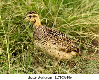 A Coqui Francolin (Francolinus coqui)  bird  in the Masai Mara savanna, Kenya, Africa