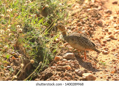 Coqui francolin, Peliperdix coqui, Masai Mara National Reserve Kenya East Africa. Foraging on stony ground, green grass edge. Phasianidae family. Birding on East Africa safari
