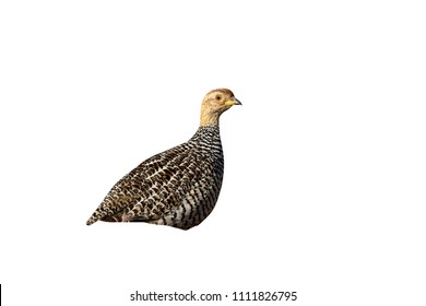 Coqui francolin, Peliperdix coqui, single bird on ground, South Africa, August 2015