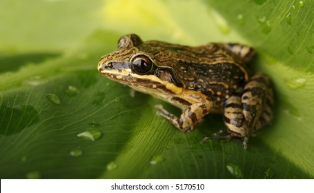 Coqui Native frogg from Puerto Rico