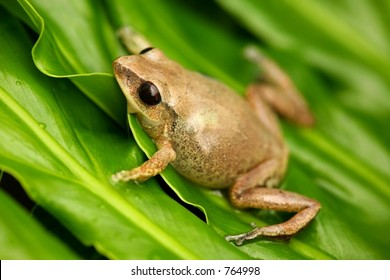 Coqui Native frogg from Puerto Rico 02