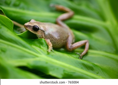 Coqui Native frogg from Puerto Rico 04