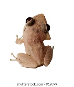 Coqui Native frogg from Puerto Rico 05