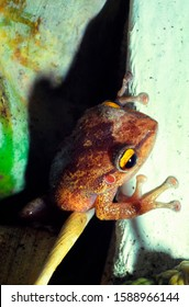 The Coqui, a small tree frog peers from hiding place, the frog is the national symbol of Puerto Rico