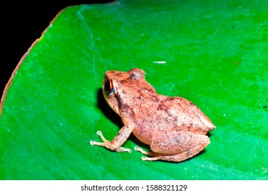 The Coqui, a tiny tree frog, on banana leaf, Puerto Rico