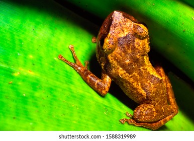 The Coqui, a tiny tree frog and Puerto Rico's national symbol, hides in a bromeliad