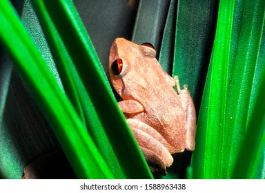 Coqui tree frog in bromeliad, El Yunque National Forest, Puerto Rico