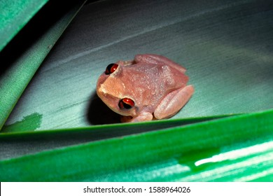 Coqui tree frog on bromeliad, El Yunque National Forest, Puerto Rico