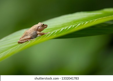 Coqui tree frog Puerto Rico