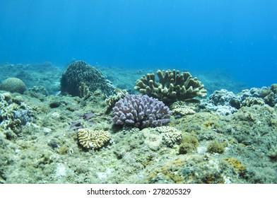 Corad reef of sunbeams in blue water