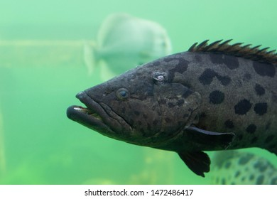 coral, bahamas, grouper, travel, striped, living, landscape, clear, snorkel, large, bumblebee grouper, giant grouper, big, huge, background, amazon, river, blue, red, sea, life, reef, freshwater, natu