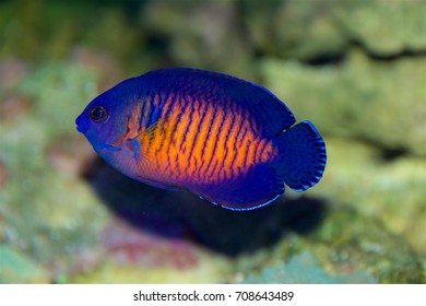Coral Beauty Angelfish, Centropyge bispinosa, a dwarf or pygmy angelfish from the Indo Pacific