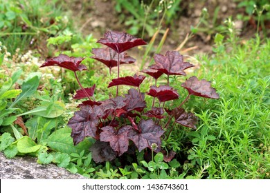 Coral bells or Heuchera Electric plum herbaceous perennial plant with palmately lobed dark purple leaves on long petioles and thick woody rootstock planted in local garden surrounded with other plants