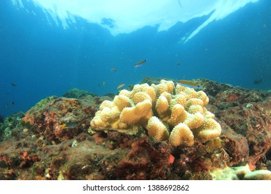 Coral bleaching due to climate change and global warming