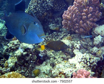 Coral colony and coral fish. Red sea. Egypt.