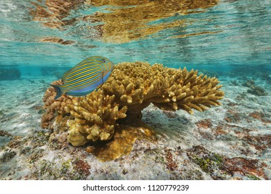 Coral with a colorful tropical fish ( lined surgeonfish ) in shallow water, lagoon of Tahaa island, Pacific ocean, French Polynesia