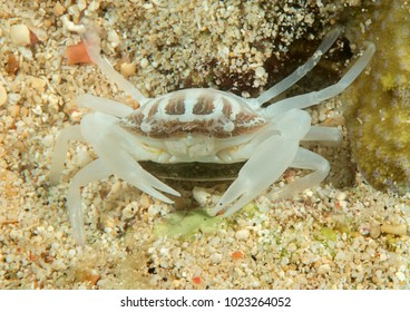 Coral crab resting on coral reef of Bali, Indonesia