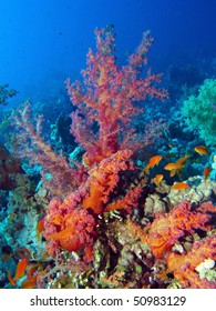 Coral (Dendronephthya).