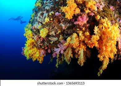 coral  and diver in philippines