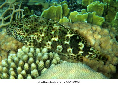 A coral fish in the Red Sea