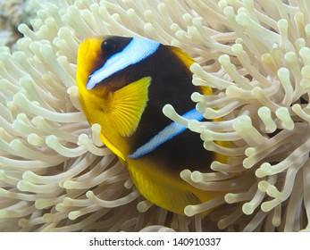 Coral fish Red sea anemonefish