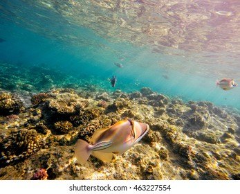 Coral and fish in the Red Sea. In front Triggerfish, in background coral garden and sea with other coral fish. Safaga, Egypt.